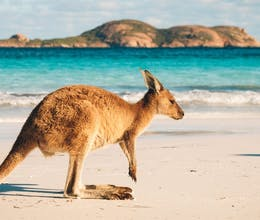 kangaroo at lucky bay in the cape le grand national park near esperance