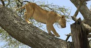 Lion at Lake Manyara Serena Safari Lodge