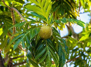 Breadfruit in St Vincent