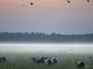 buffalo sunrise at bamurru plains