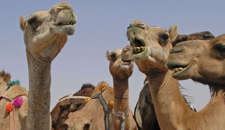 camels in wahiba, Desert Nights Camp