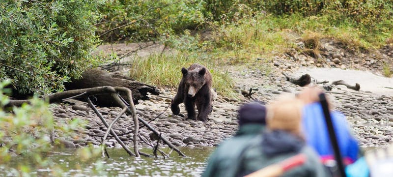 Grizzly bear along the river at Great Bear Lodge
