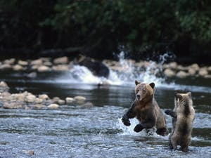 Grizzly Bears Chasing Salmon