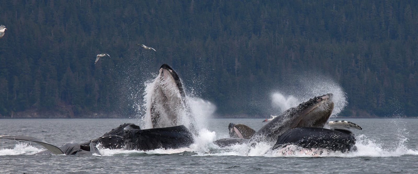 humpbacks whales feeding off juneau