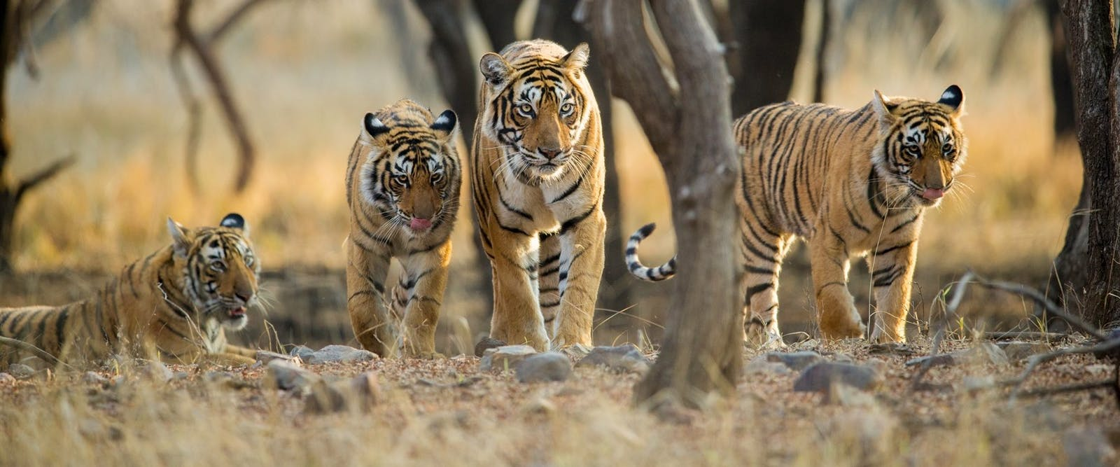 Tiger family at Ranthambore National Park