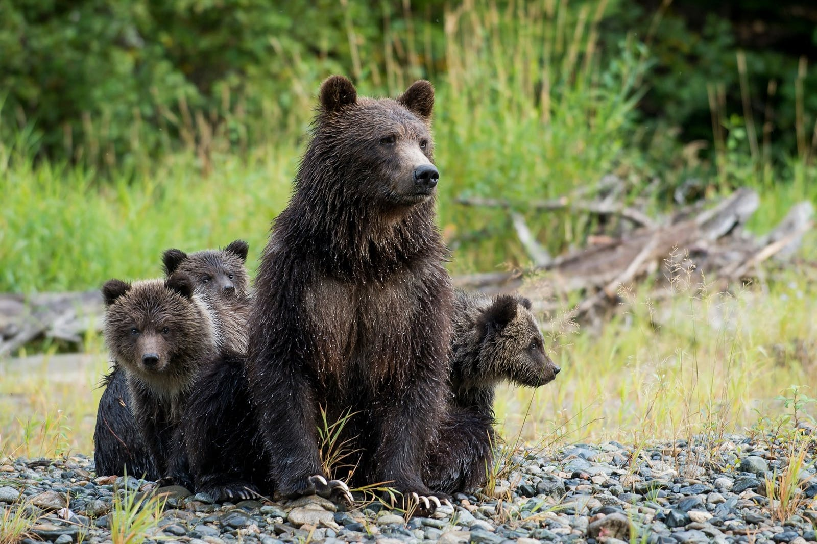 bears at tweedsmuir park lodge - photo by dano pendygrasse