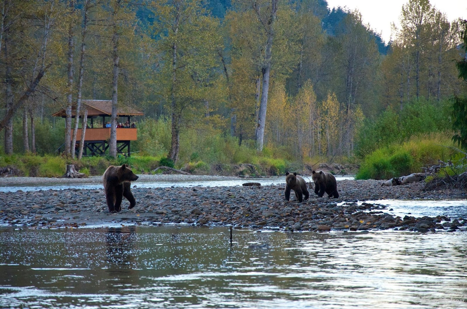 bear viewing in their natural habitat - photo by sam mccoy