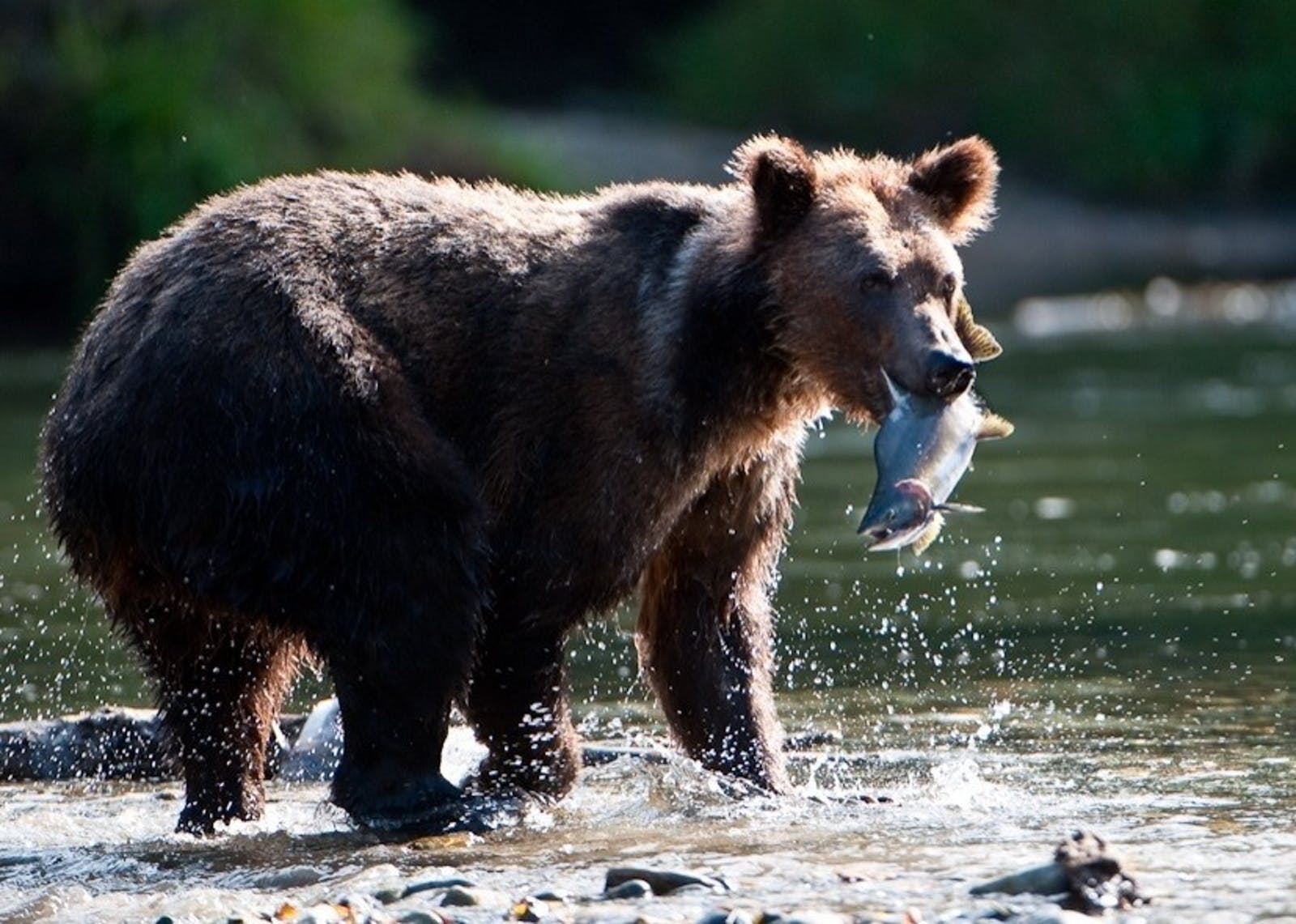 grizzly with fish - photo by nick garbutt