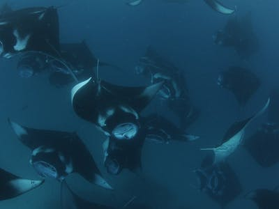 Blue Planet II Inspiration: Manta Rays