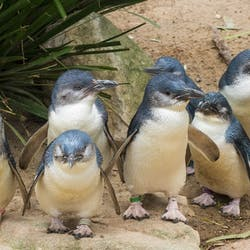 Penguins at Phillip Island , Australia