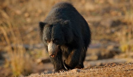 Sloth Bear at Ranthambore National Park