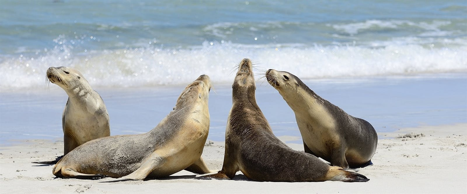 australia sea lions at seal bay kangaroo island