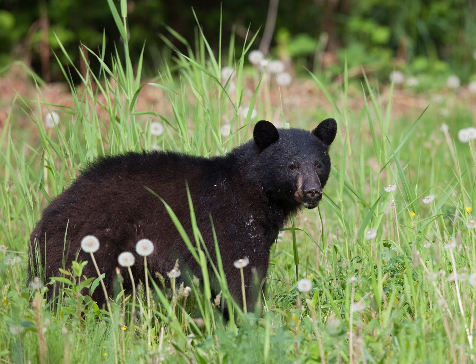 black bear sighting near whistler